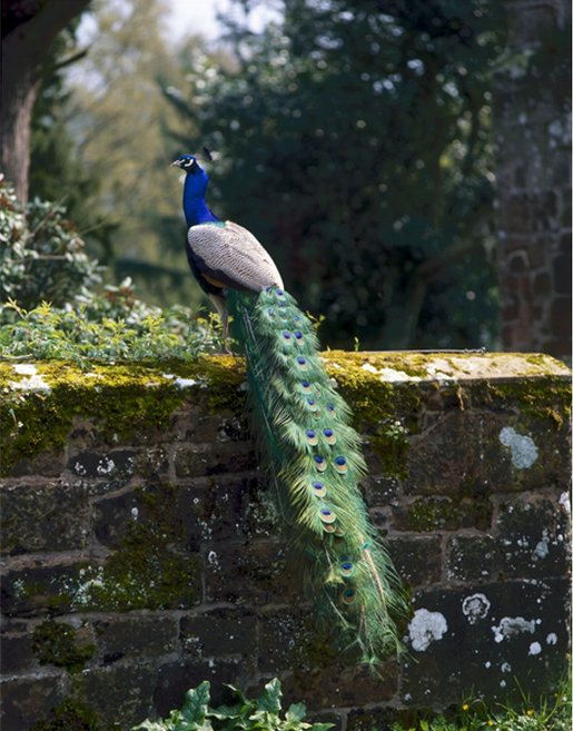peacocks manor