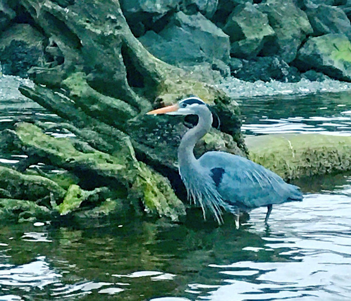 Brad Booker‏ @bbooker32 Come on in, the waters fine! #Spring #BlueHeron #Nature @ThePhotoHour @DesMoinesMarina (April 16th, 2017)