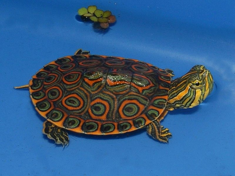 Belize Slider For Sale From The Turtle Source Slider Turtle