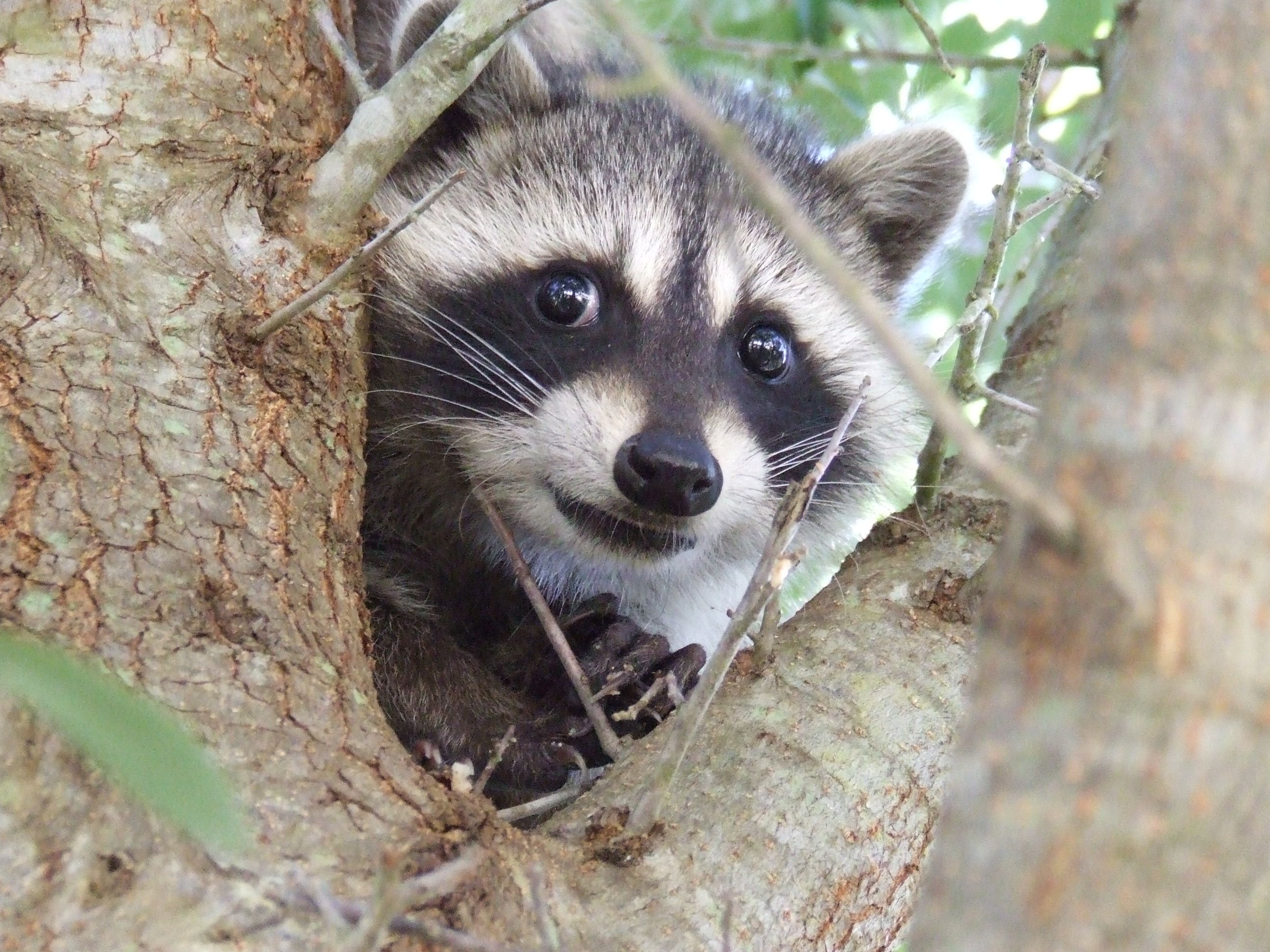 6caf0c7bbd2d7543d791a3319ed4bd58 racoon google search animals pinterest racoon, baby racoon