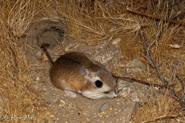 Agile kangaroo rat (Dipodomys agilis) is a species of ...