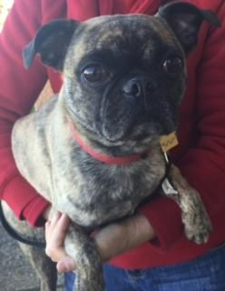 Adopt Elwood On Potential Fur Bbs Terrier Mix Dogs Pugs Pets