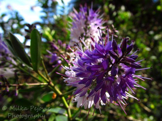 Puffy Purple Flowers On Shrub