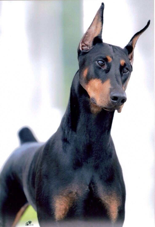 Doberman Pinscher Protective Dogs Doberman Pinscher Doberman