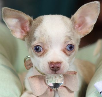Old Blue Eyes Teacup Chihuahua Cute Chihuahua
