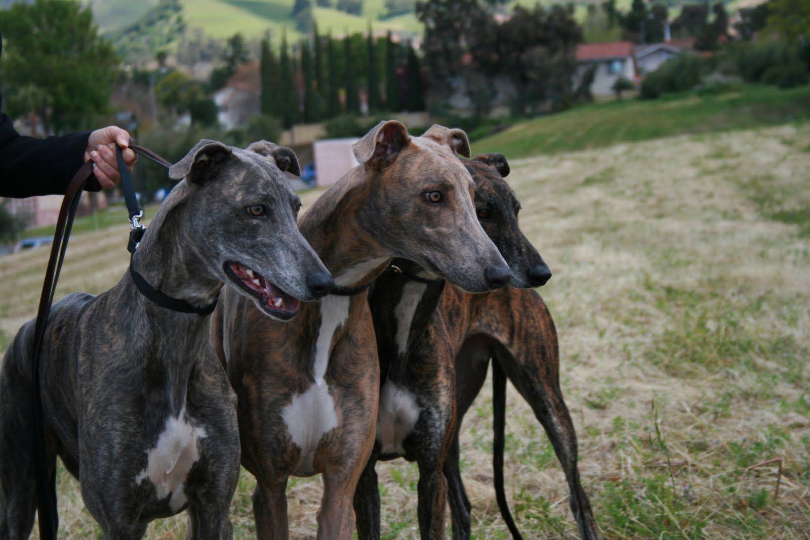 Color Variations Greyhounds Animal Love Grey Hound Dog Dogs Italian Greyhound