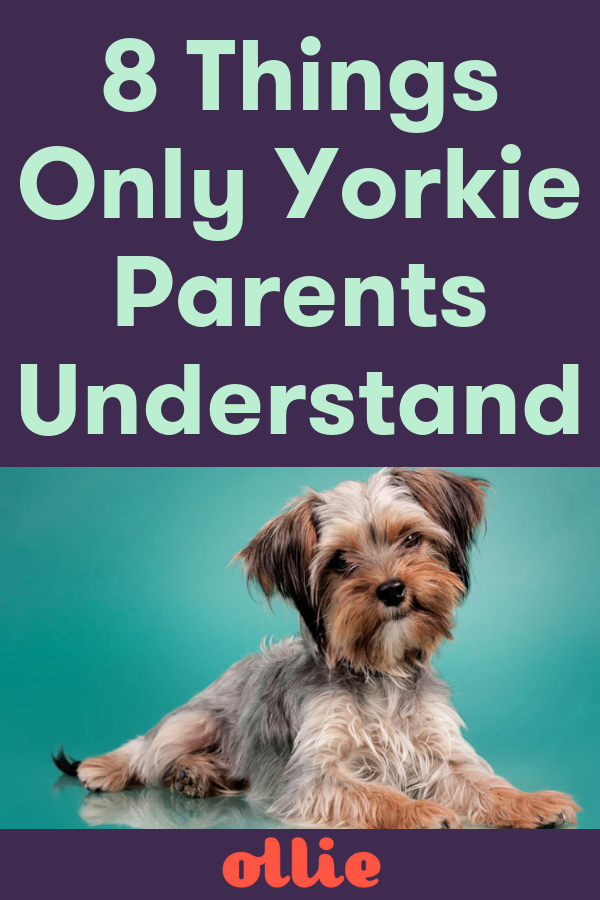Yorkie dog parent? Check out our fun list of 8 things every Yorkie mom or dad will understand. #healthydogs #doglover #petparent #doghealth #dogtraining #dogtips