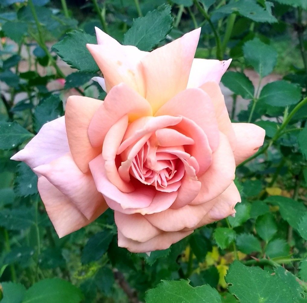 Orange Rose From Pat H S Yard Hybrid Tea Planted In Fall