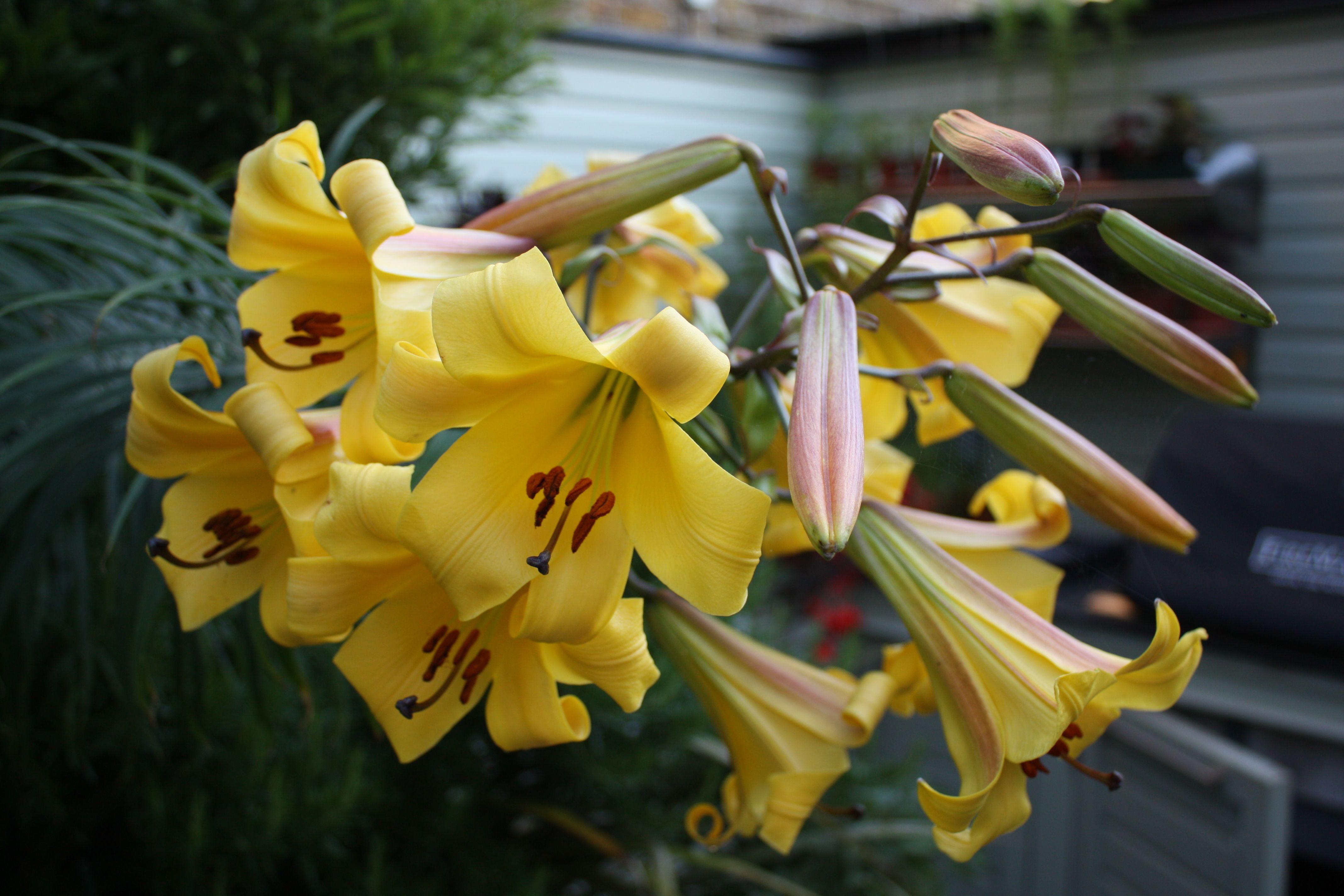 Lilium 'Golden Splendour' Çiçek