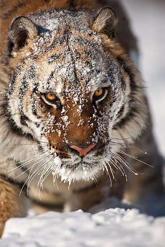 Tiger in snow - Suha Derbent.  If you ever find yourself looking into these eyes it will most likely be your last sight.