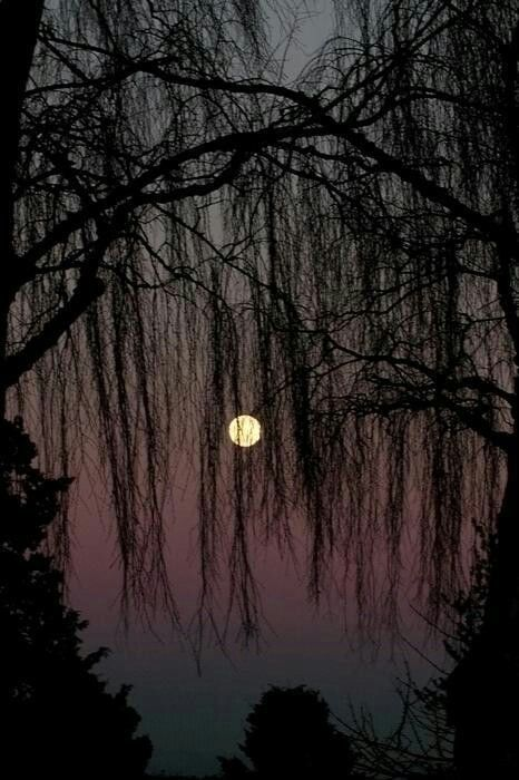 Weeping Willow moon | Beautiful moon, Moon shadow, Beautiful nature