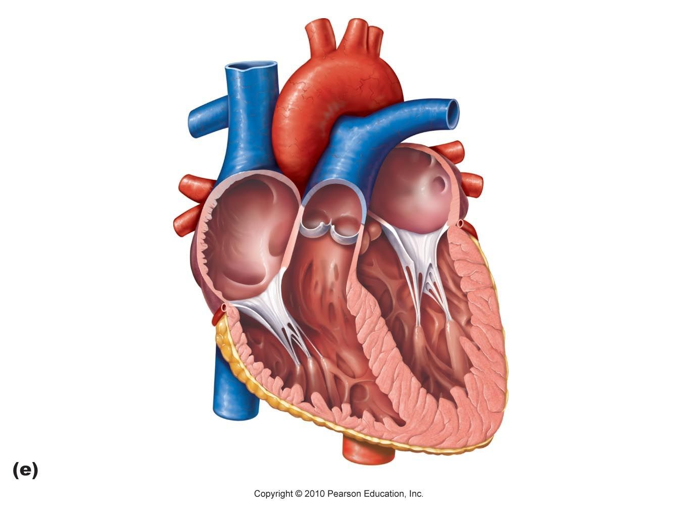 Blank Diagram Of The Heart Human Anatomy And Physiology Ii ...