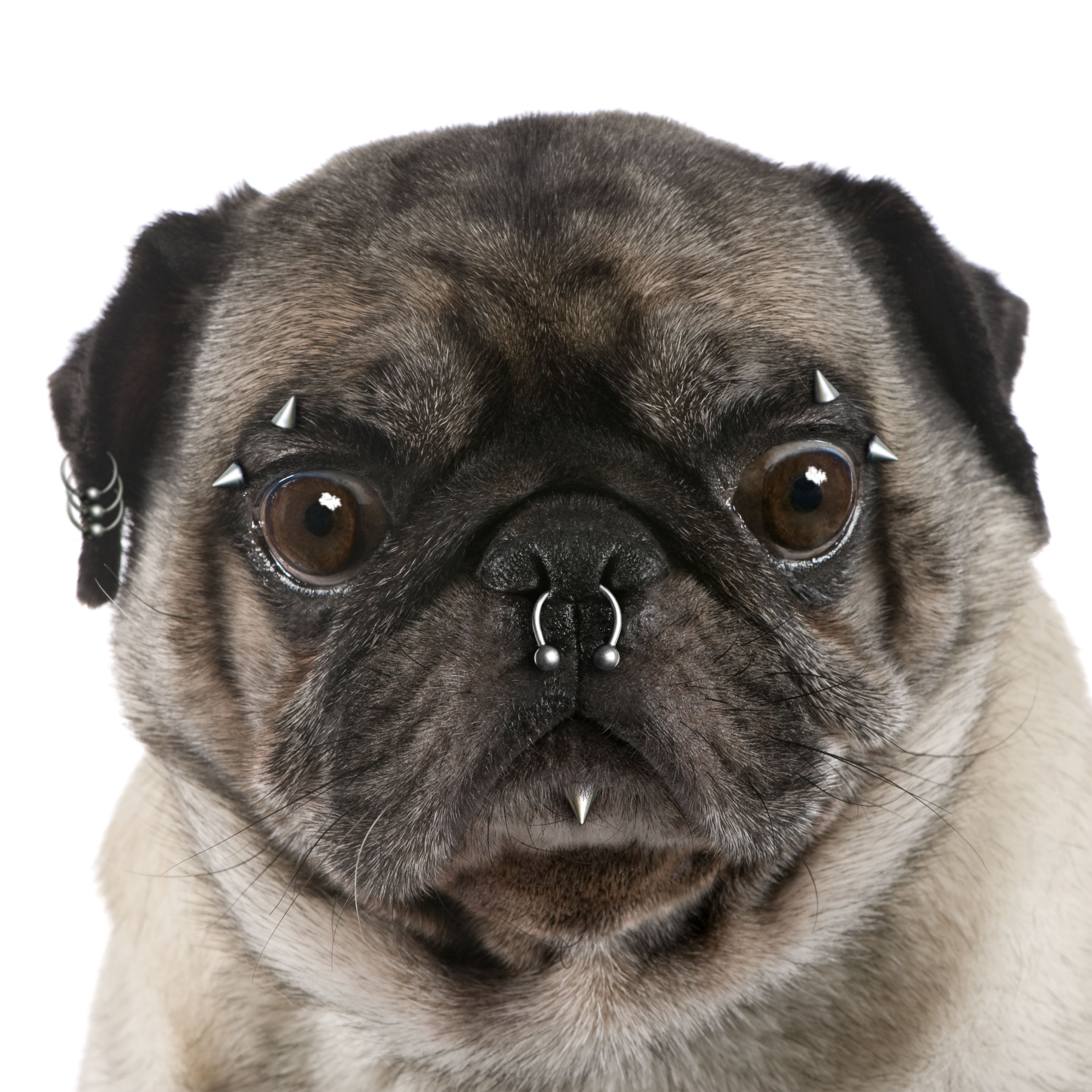 Not Easy To Be A Piercer S Dog Pugs Animals Cute Pugs