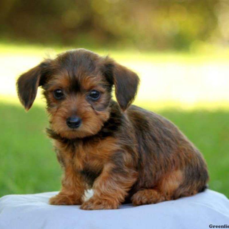 Dorkie Puppy Adoptable Dachshund Dog Dog Breeds Pictures Puppies