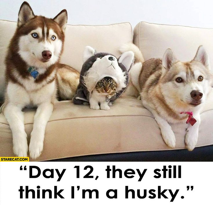 Funny Husky Jokes Meme : Day they still think i m a husky cat in disguise fav