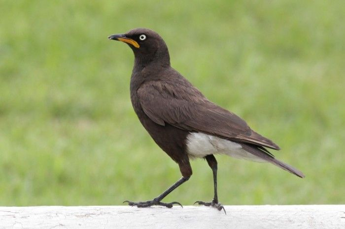 Pied Starling- South Africa- Alex Lamoreaux