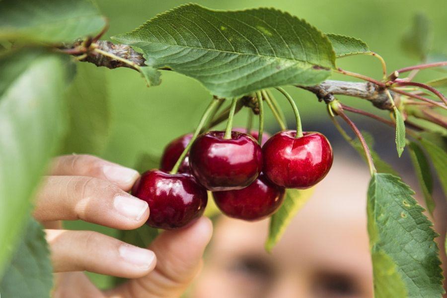 Pourquoi mon cerisier n 39 a t il pas de fruits cette ann e cueillette cerises et la cerise - Faire pousser un cerisier ...