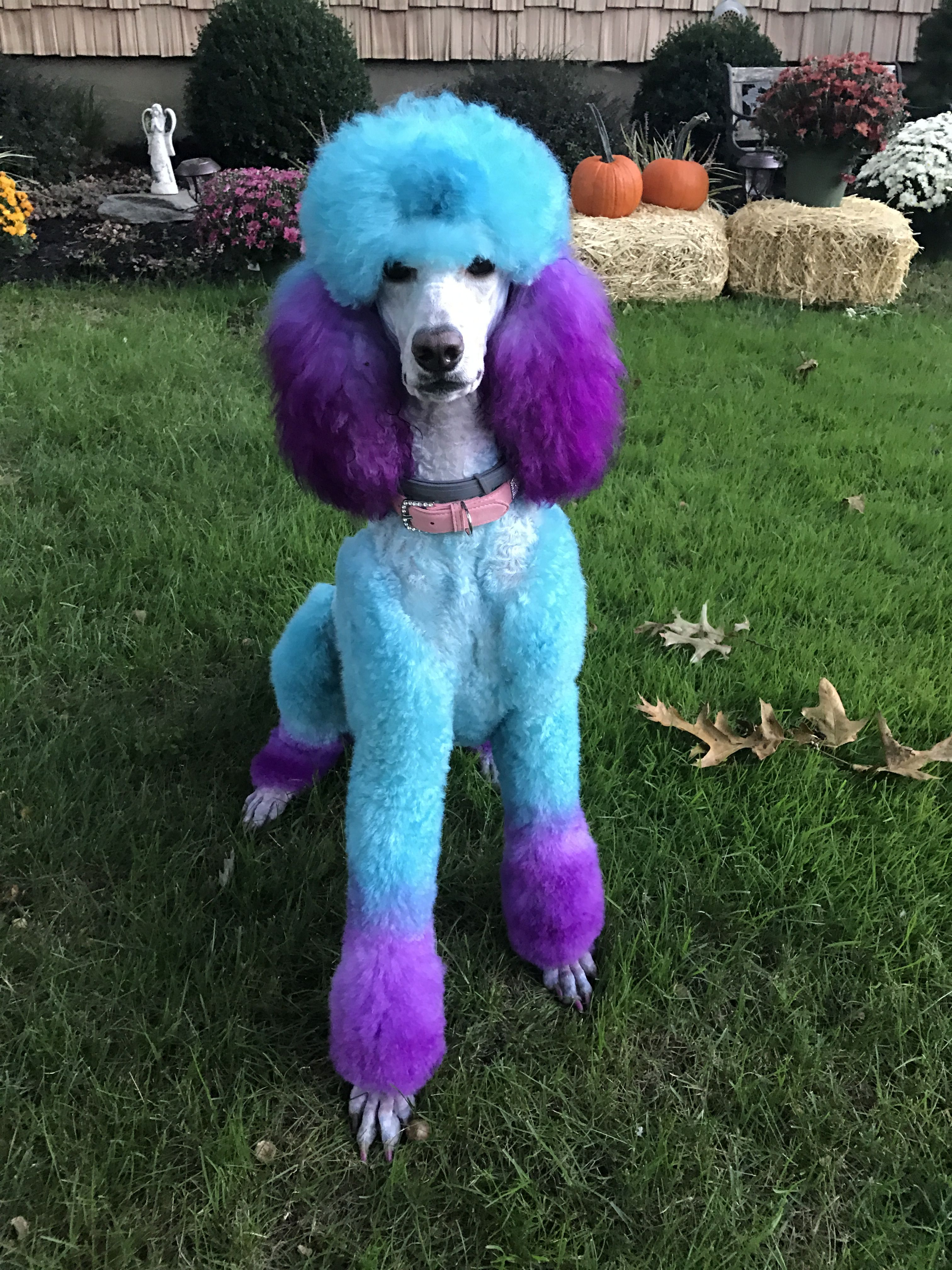 Poodles Smart Active And Proud With Images Poodle Puppy