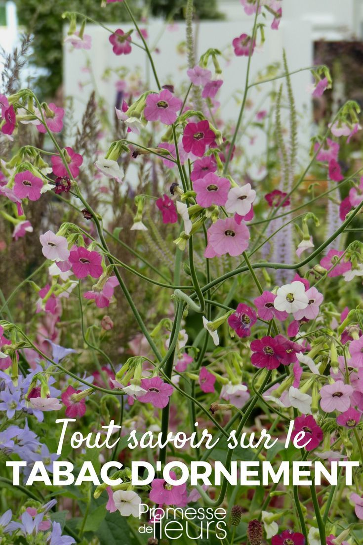le tabac d'ornement, nicotiana : semis, plantation, culture