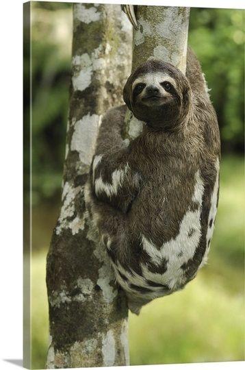 Brown Throated Three Toed Sloth: Amacayacu National Park, Columbia
