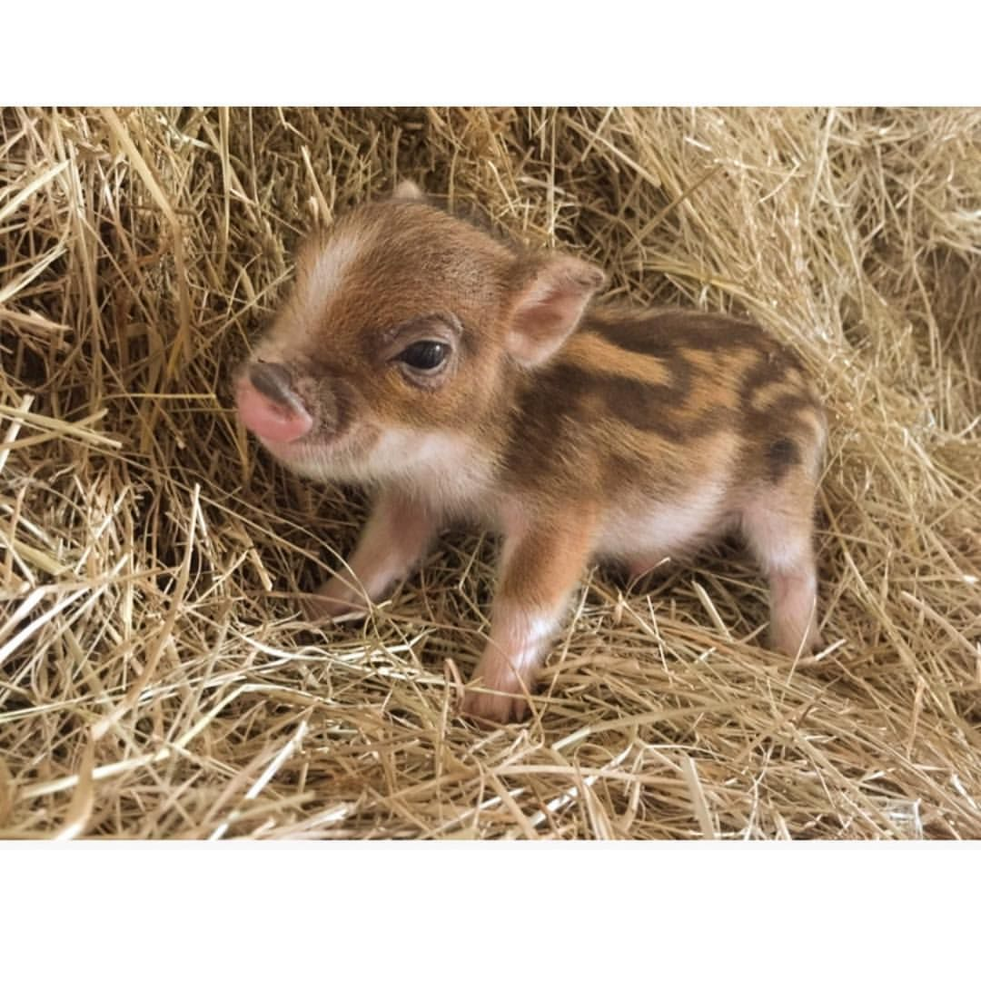 1,962 Likes, 26 Comments - The Worlds Smallest Pet Pigs ...