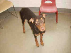 Pin On Adoptable Pets By Brokendobe Doberman Rescue And Friends
