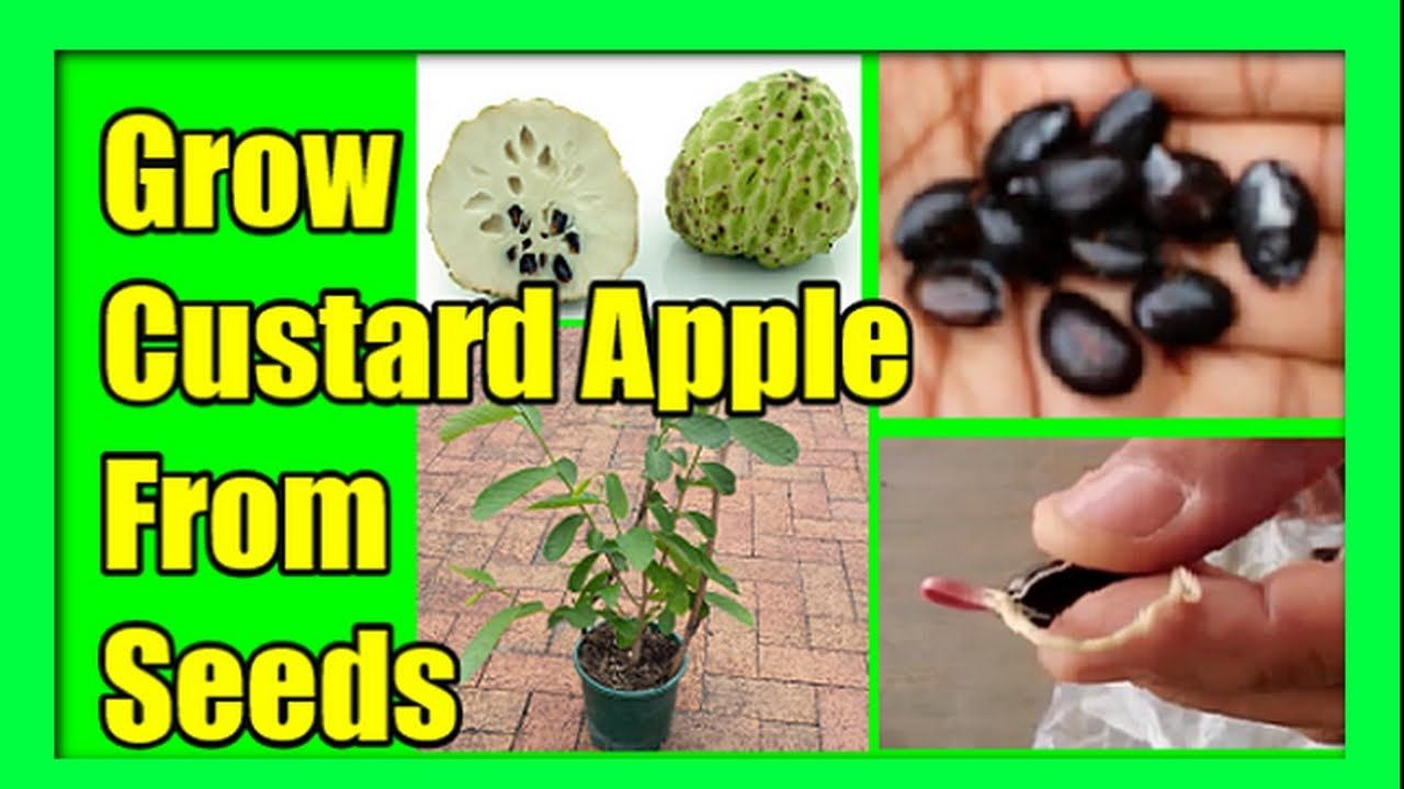 Pin By Maria Angeles Urquiza On Fruits Apple Tree From Seed Apple Seeds Grow Avocado