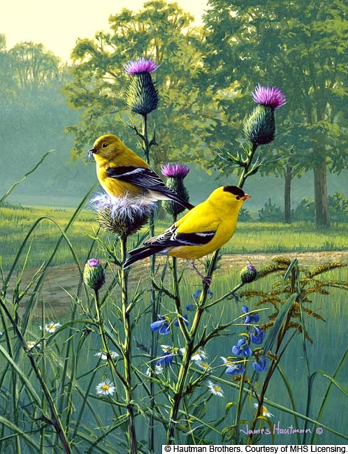 "Hautman Brothers - ""Country Morning Goldfinch"" 