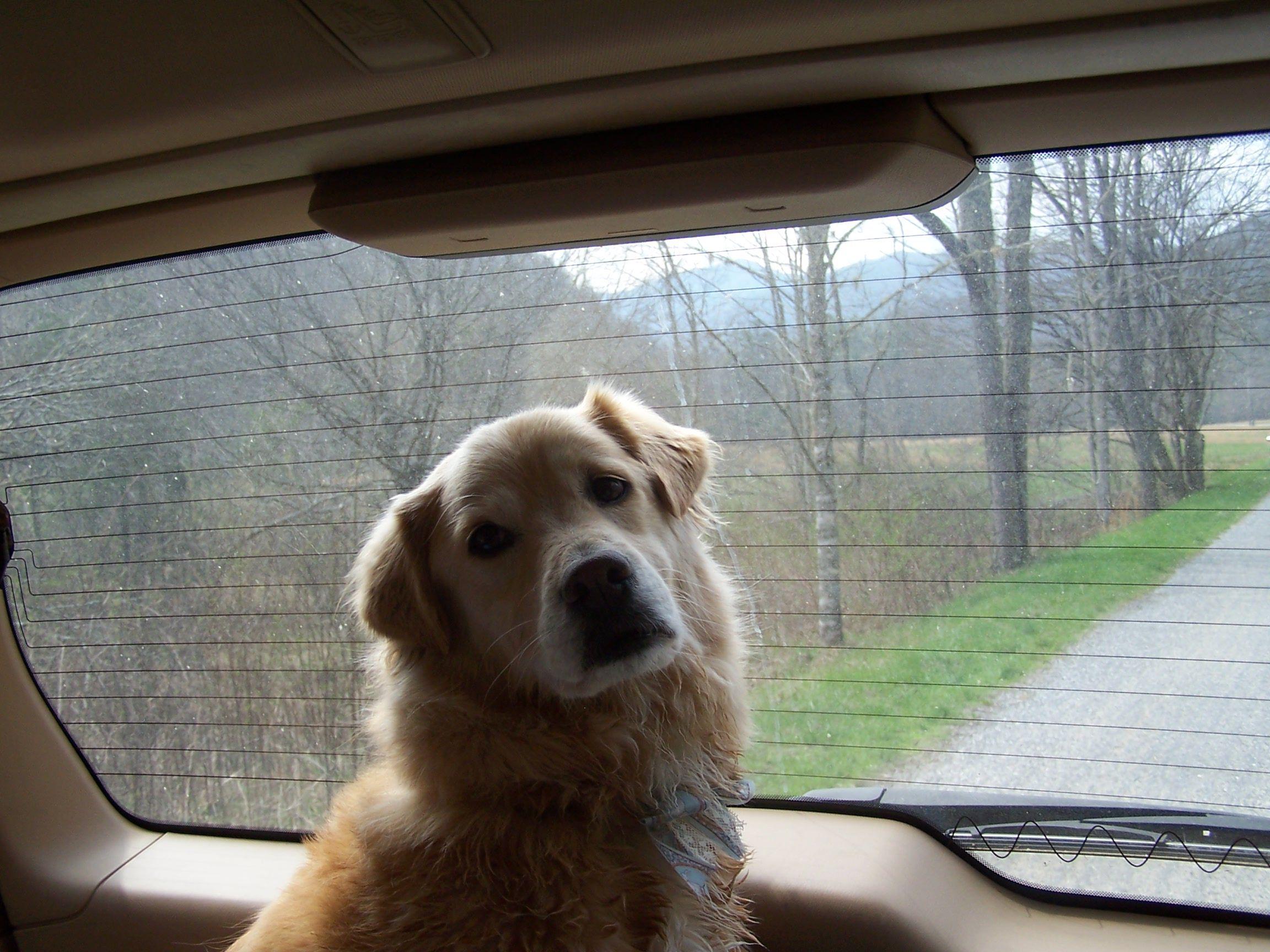 Akc Golden Retriever Puppies Oklahoma - Animal Friends