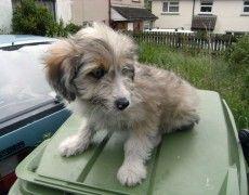 Sheltidoodle Puppy Poodle Mix Dog Crossbreeds Poodle
