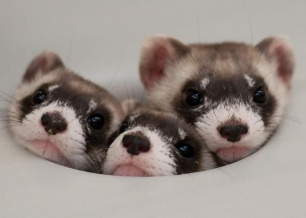 125 Unique Names For Pet Ferrets There Are More And More People Who Decide To Adopt A Ferret As A Pet And It S No Surpri Cute Ferrets Cute Animals Pet Ferret