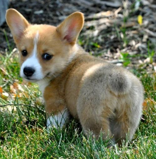 Corgi Puppy Cute At This Size Cute Animals Funny Animals