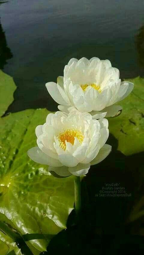 Pin by Mona Moni on Lotus   Flower photography art. Beautiful flowers. Water lilies art