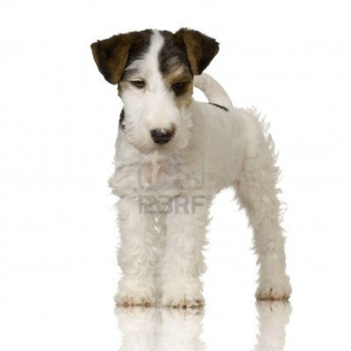 fox terrier | Tenacious Terriers | Pinterest | Fox terriers, Terrier ...
