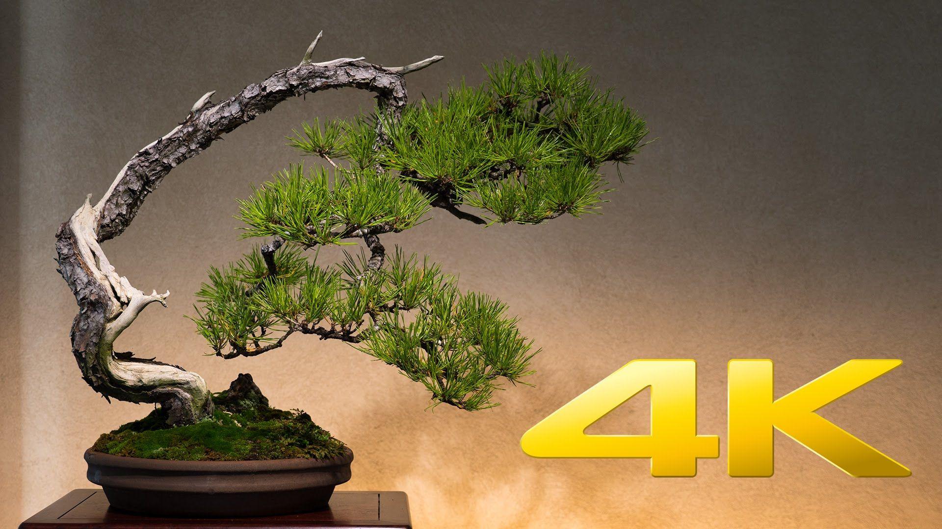 Saitama Omiya Bonsai Museum 大宮盆栽美術館 4k Ultra Hd Bonsai Bonsai Tree Tree Wallpaper 4k