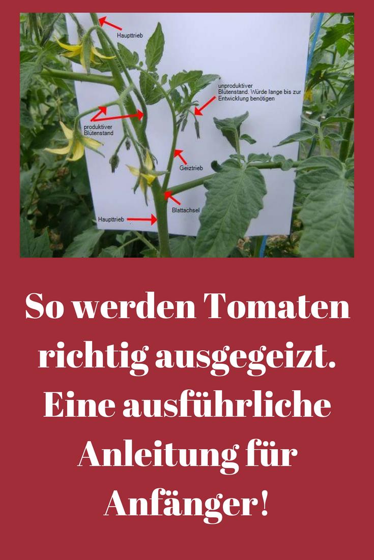 Tomaten Ausgeizen So Wird S Richtig Gemacht Hier Findet Ihr Eine Ausfuhrliche Anleitung Zum Tomaten Ausgeizen Ide Garten Garten Anpflanzen Garten Bepflanzen