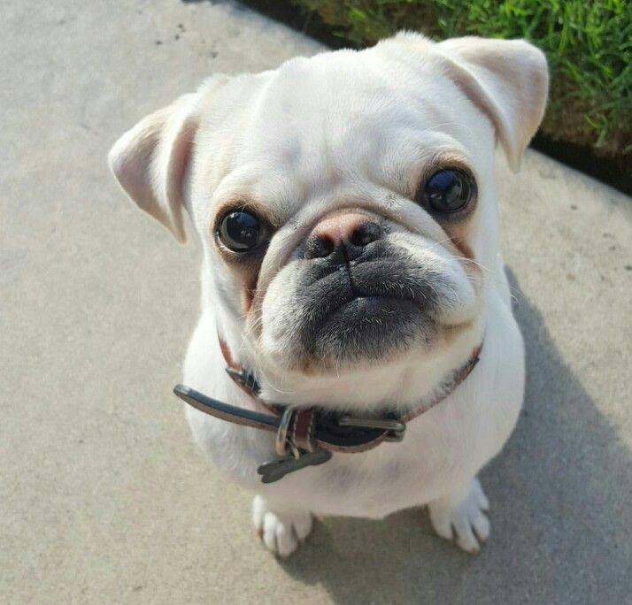 This Is A Frug A French Bulldog And Pug Mix And 100 Adorable