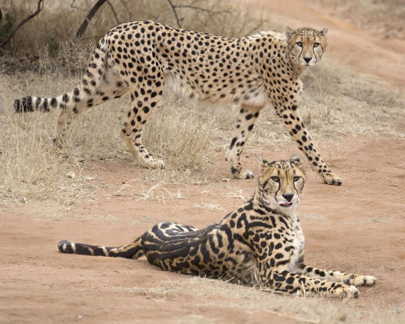 Feral cats in Northern California have enabled researchers to unlock the biological secret behind a rare, striped cheetah found only in sub-Saharan Africa, according to researchers at the Stanford University School of Medicine, the National Cancer Institute and HudsonAlpha Institute for Biotechnology in Huntsville, Alabama. The study is the first to identify a molecular basis of coat patterning in mammals.