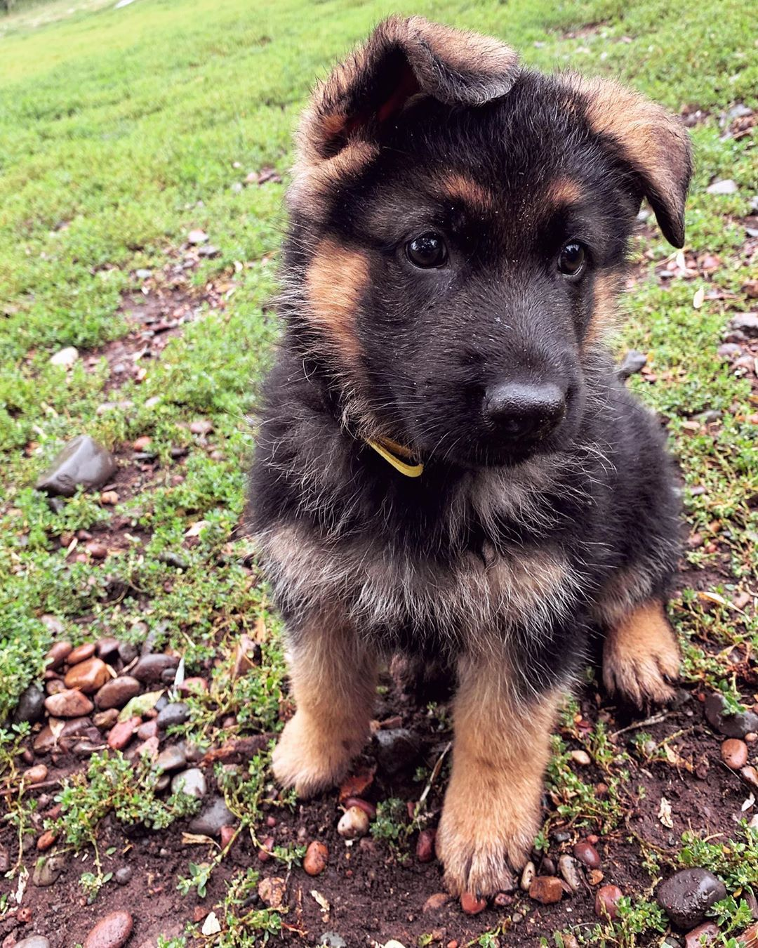 Gsd Puppy Gsd Puppies German Shepherd Puppies Puppies