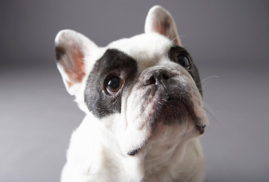 Dog Looking Away By Chris Amaral French Bulldog Cute French