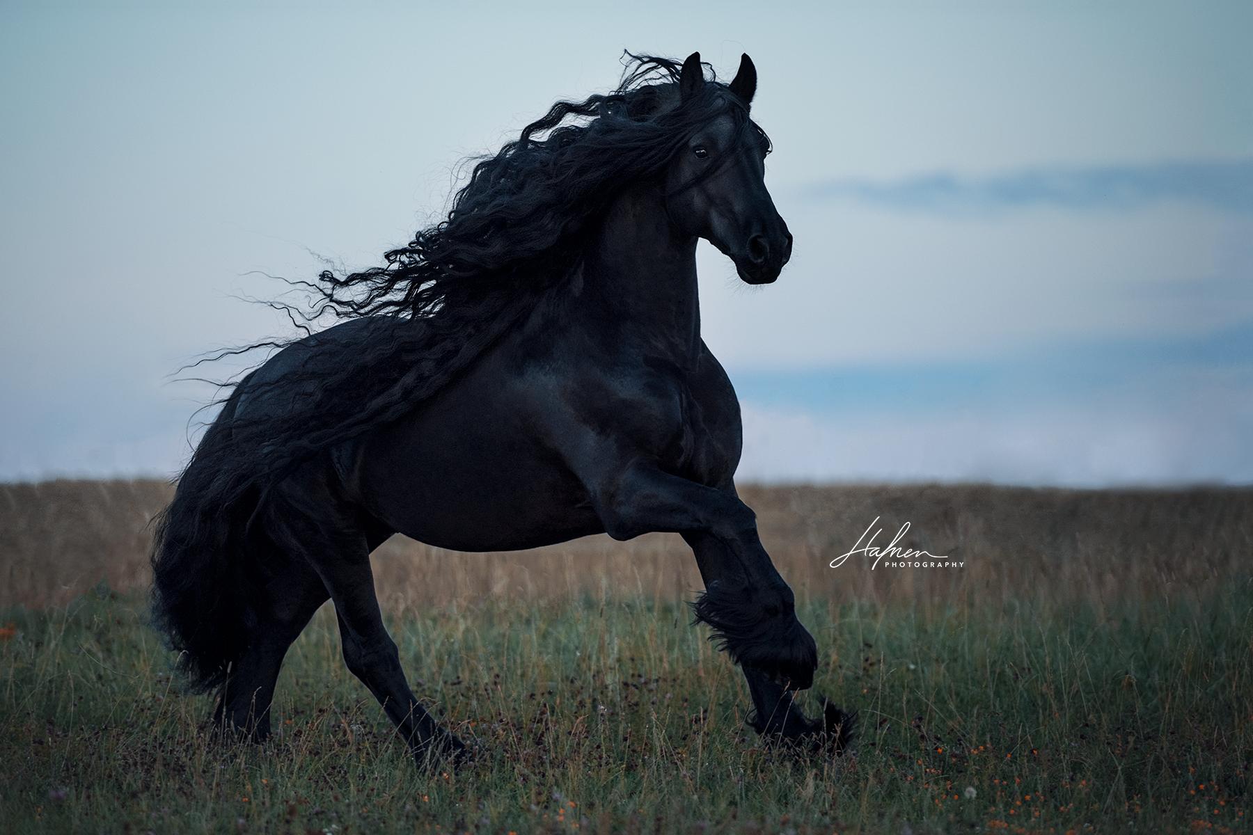 Friesen Hengst mit langer Mähne galoppiert über die Wiese | Rappe | Pferd | Bilder | Foto | Fotografie | Fotoshooting | Pferdefotografie | Pferdefot…