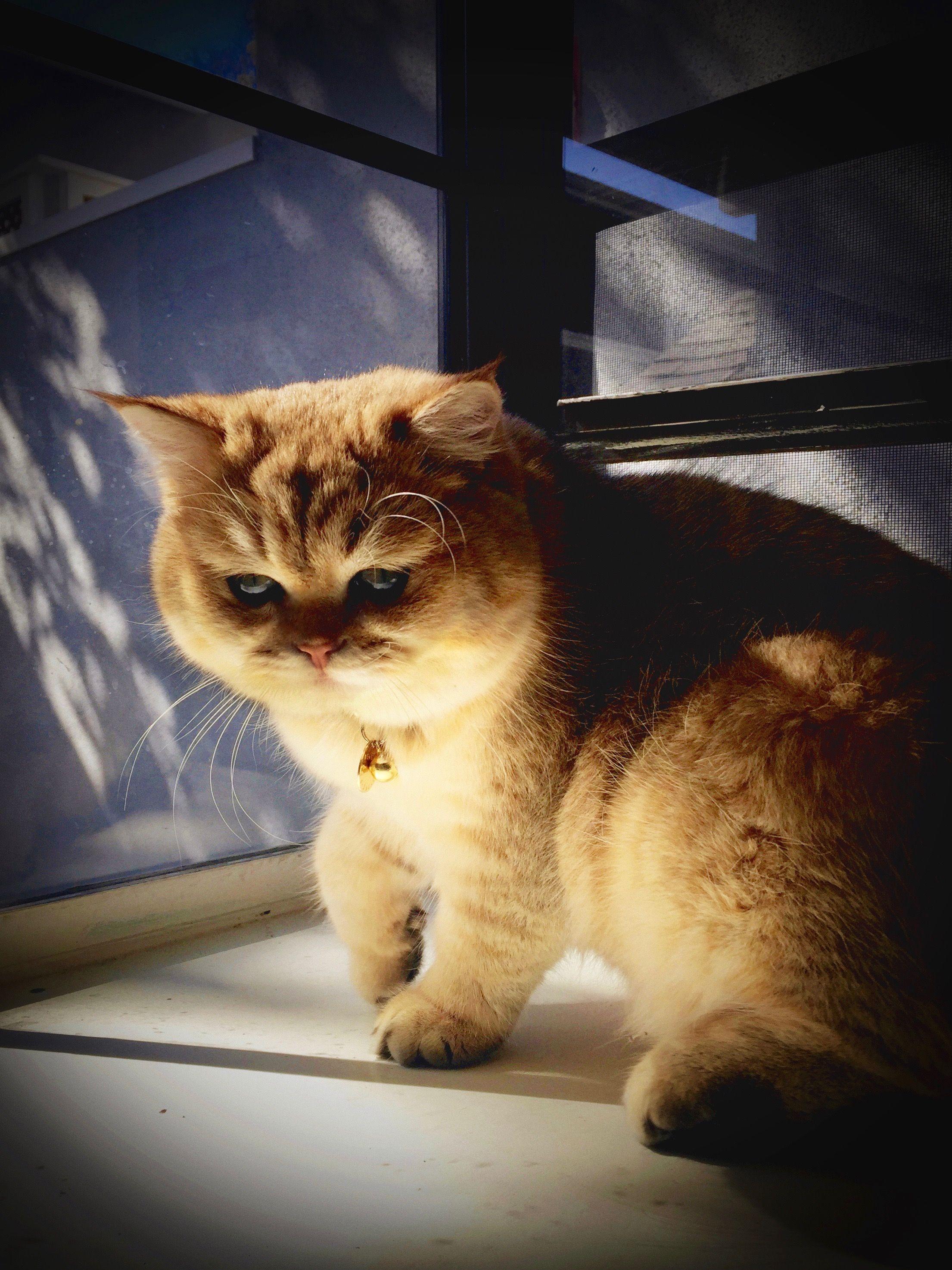 Shaded Golden British Shorthair George Chumley 9 Months Old