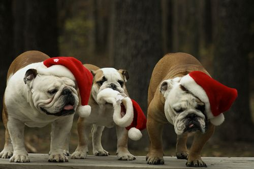 toooooooooooooo adorable for words!    celebrating a bulldog nation christmas.