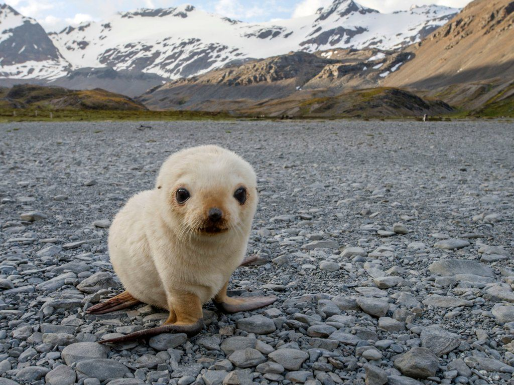 Antarctic Fur Seal Pup Today S Free Photo For Windows Mac Android Iphone And Ipad Seal Pup Baby Seal Pup Cute Seals