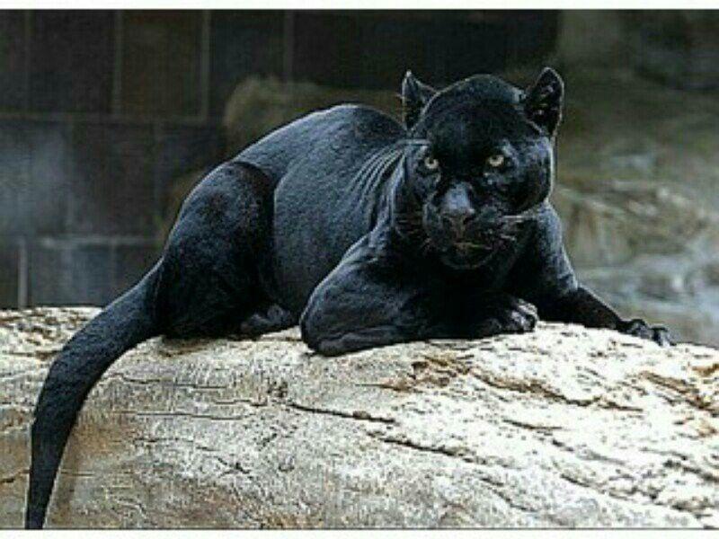 Pretty big black cat