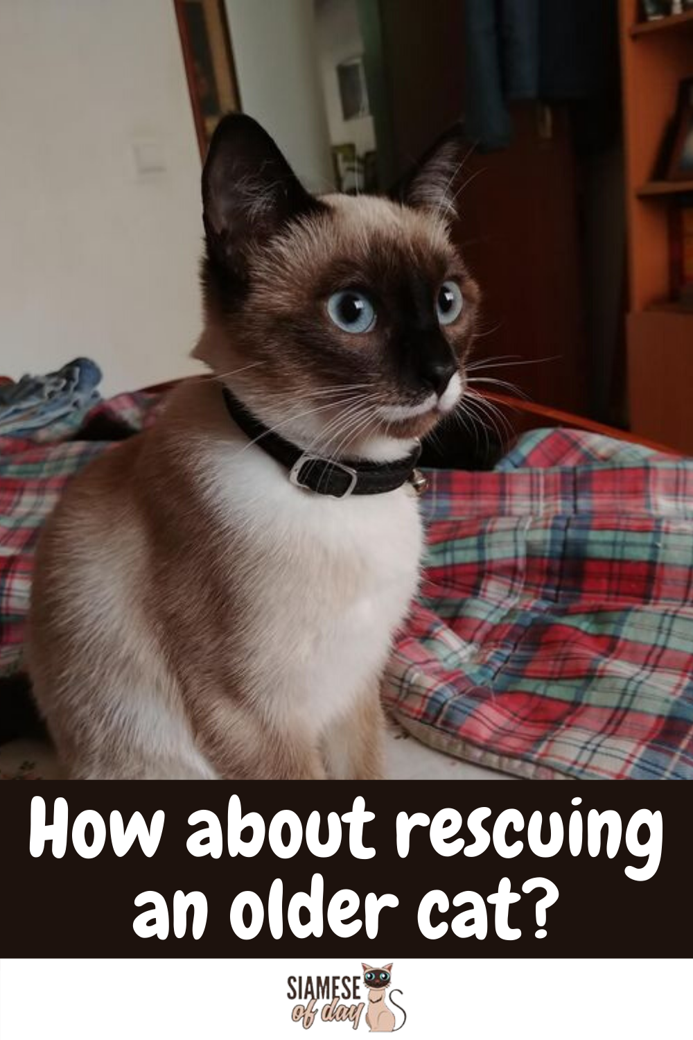 How To Adopt A Siamese Kitten Siamese Of Day In 2020 Siamese Kittens Older Cats Siamese