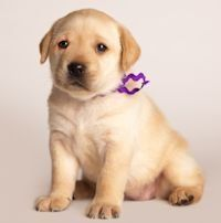 We Are Labrador Retriever Breeders Specializing In High Quality