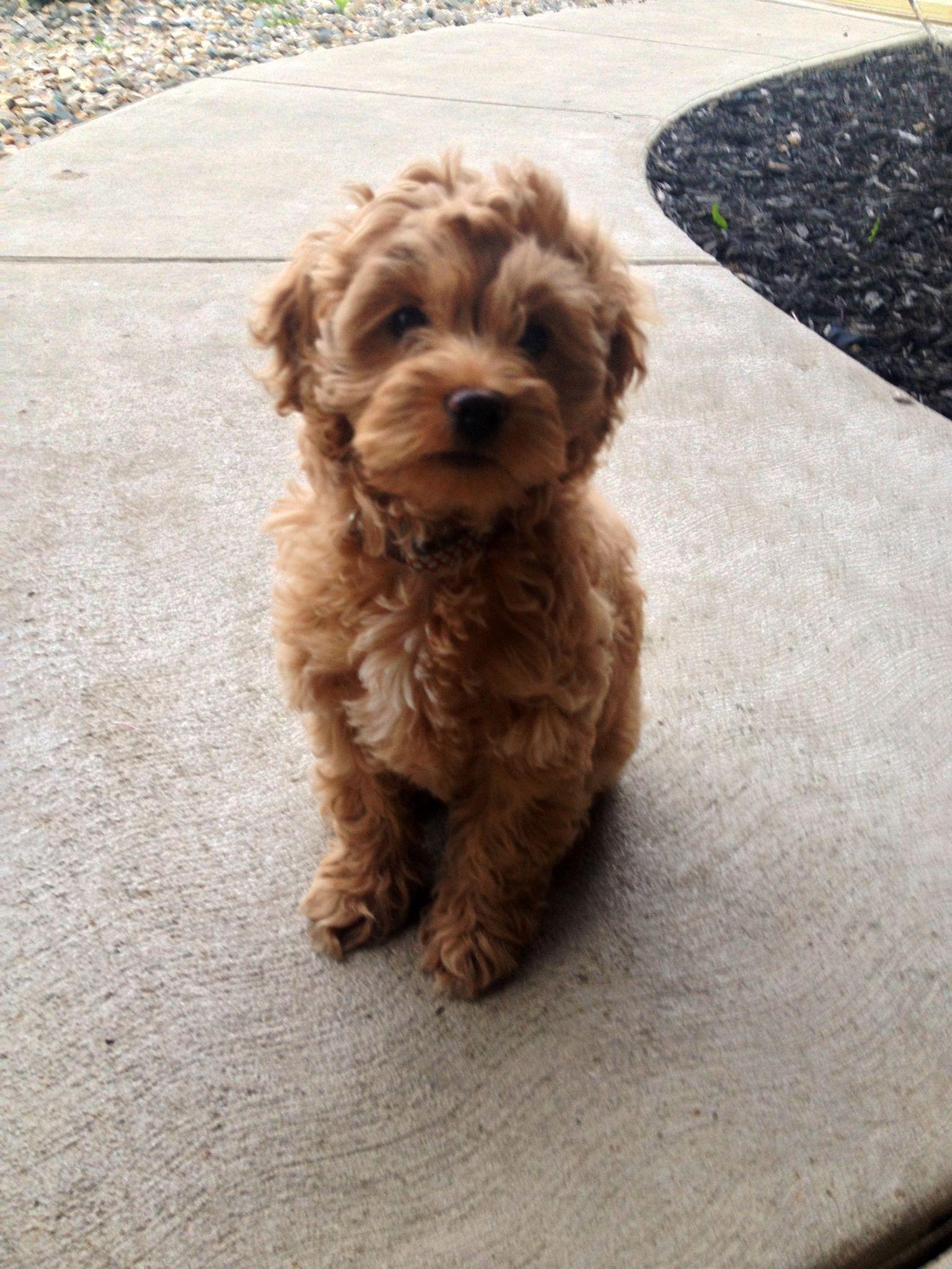 Puppyfinder.com: Cockapoo dogs for adoption near me in South Dakota