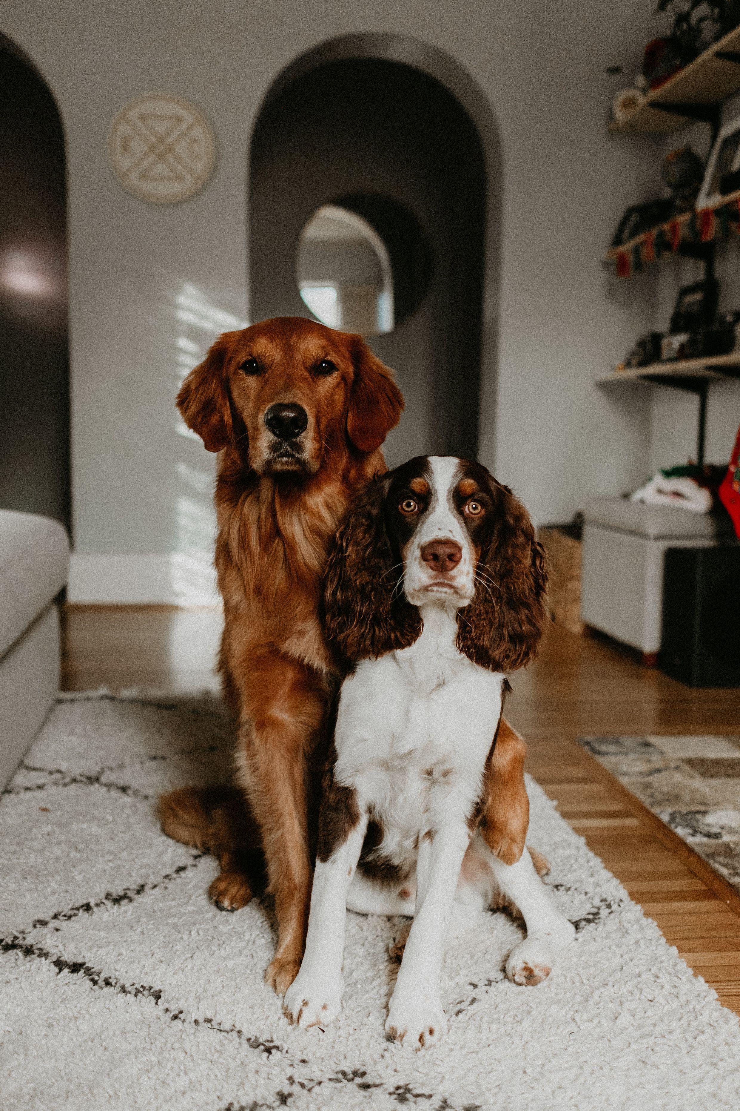 Golden Retriever Golden Retriever English Springer Spaniel Puppy Dog Best Friend