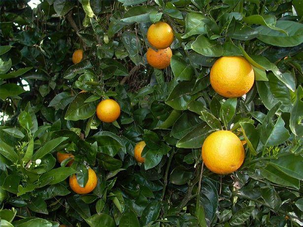 When To Prune Citrus Trees In The Desert Southwest Ehow Citrus Plant Citrus Trees Arizona Backyard Landscaping